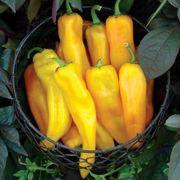 Mama Mia Giallo Hybrid Sweet Pepper Seeds Thumb