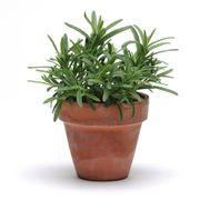 SimplyHerbs™ Rosemary Seeds Thumb