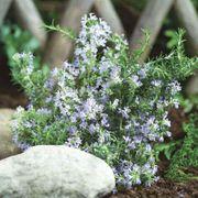 SimplyHerbs™ Rosemary Seeds Alternate Image 1