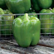 Park's Whopper II Hybrid Bell Pepper Seeds Alternate Image 1
