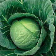 Crystal Vantage Hybrid Cabbage Seeds Thumb