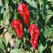 Ghost Pepper Seeds Thumb