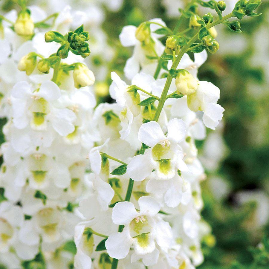 Serena® White Angelonia Seeds Image