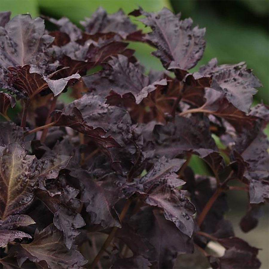 Purple Ruffles Basil Seeds Image