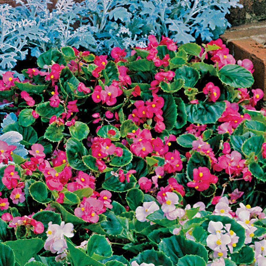 Pizzazz Deep Rose Begonia Seeds Image