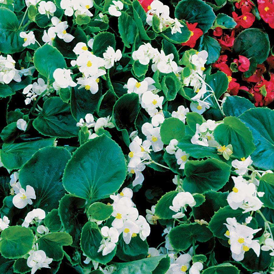 Pizzazz White Begonia Seeds Image