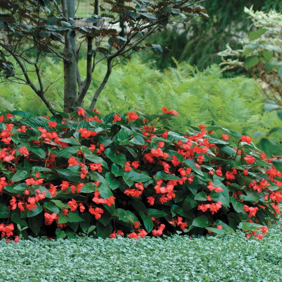 Dragon Wing® Red Begonia Seeds Image