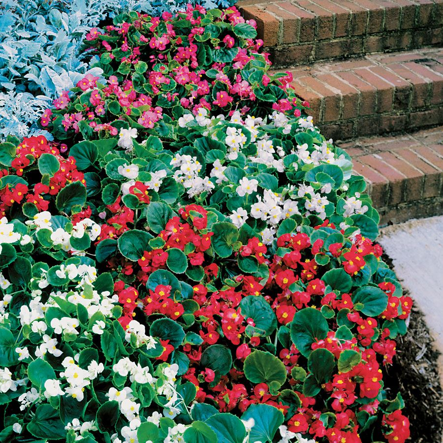 Pizzazz Mix Begonia Seeds Image