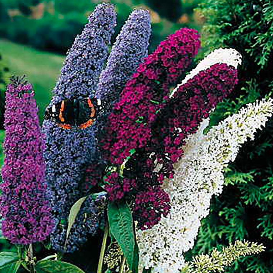 Butterfly Bush Seed Mix Image
