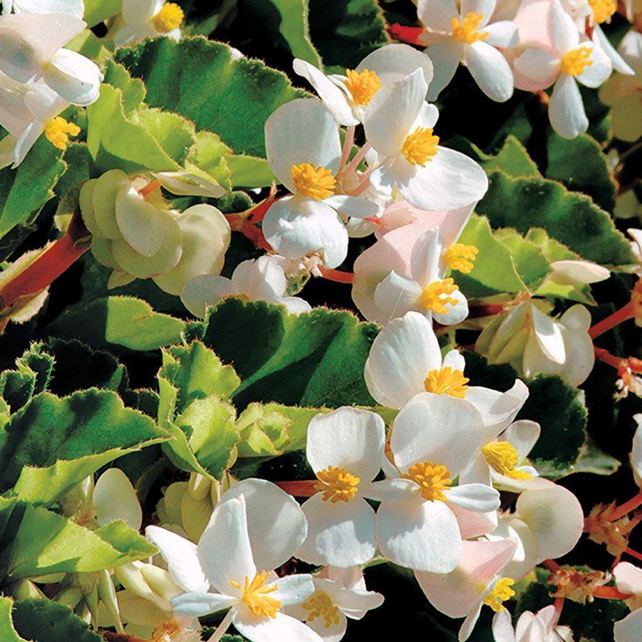 BabyWing® White Begonia Seeds Image