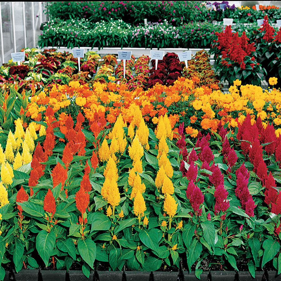 Century Mix Celosia Seeds Image
