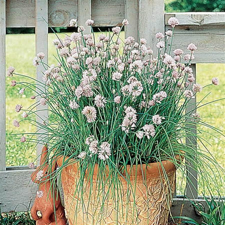 Garlic Chives Seeds Image