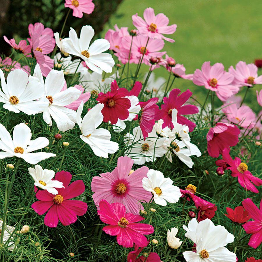 Sonata Mix Cosmos Flower Seeds Image