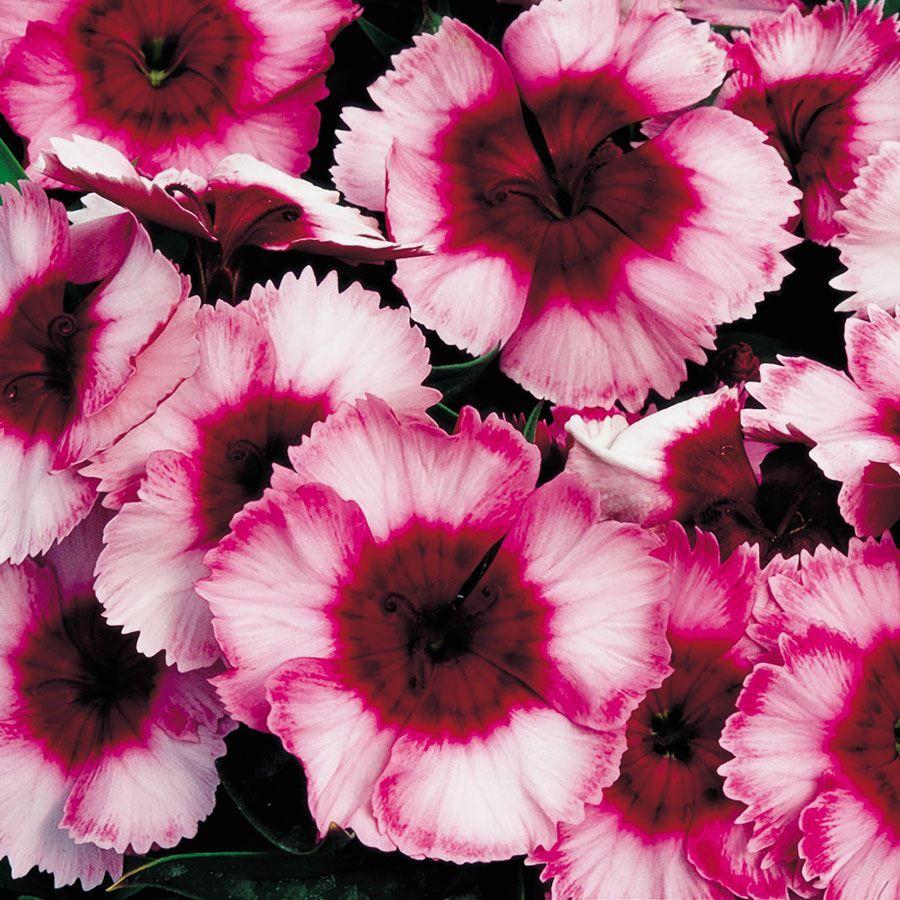 Super Parfait Raspberry Hybrid Dianthus Seeds Image