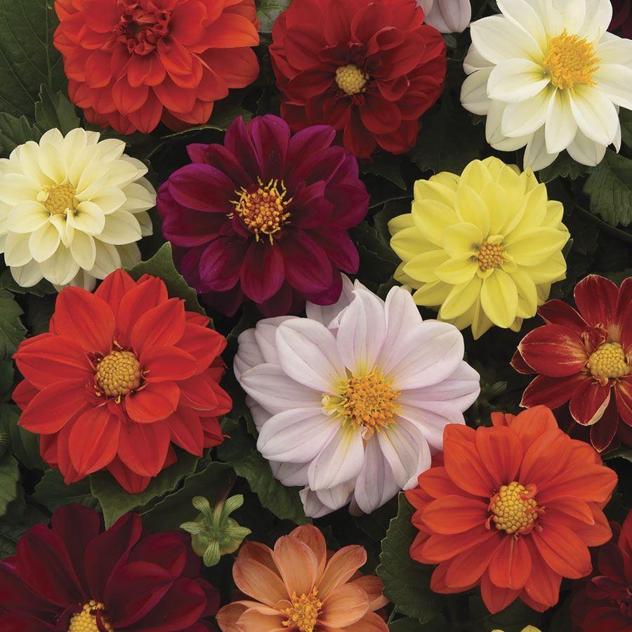 Figaro Mix Dahlia Seeds Image