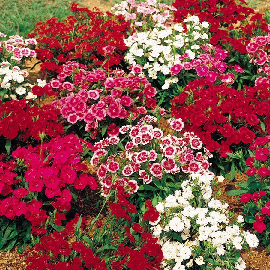 Telstar™ Mix Hybrid Dianthus Seeds Image
