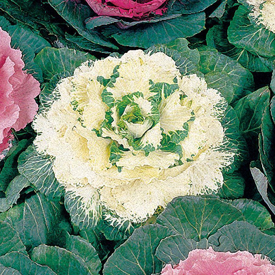 Color Up White Hybrid Ornamental Cabbage Seeds Image