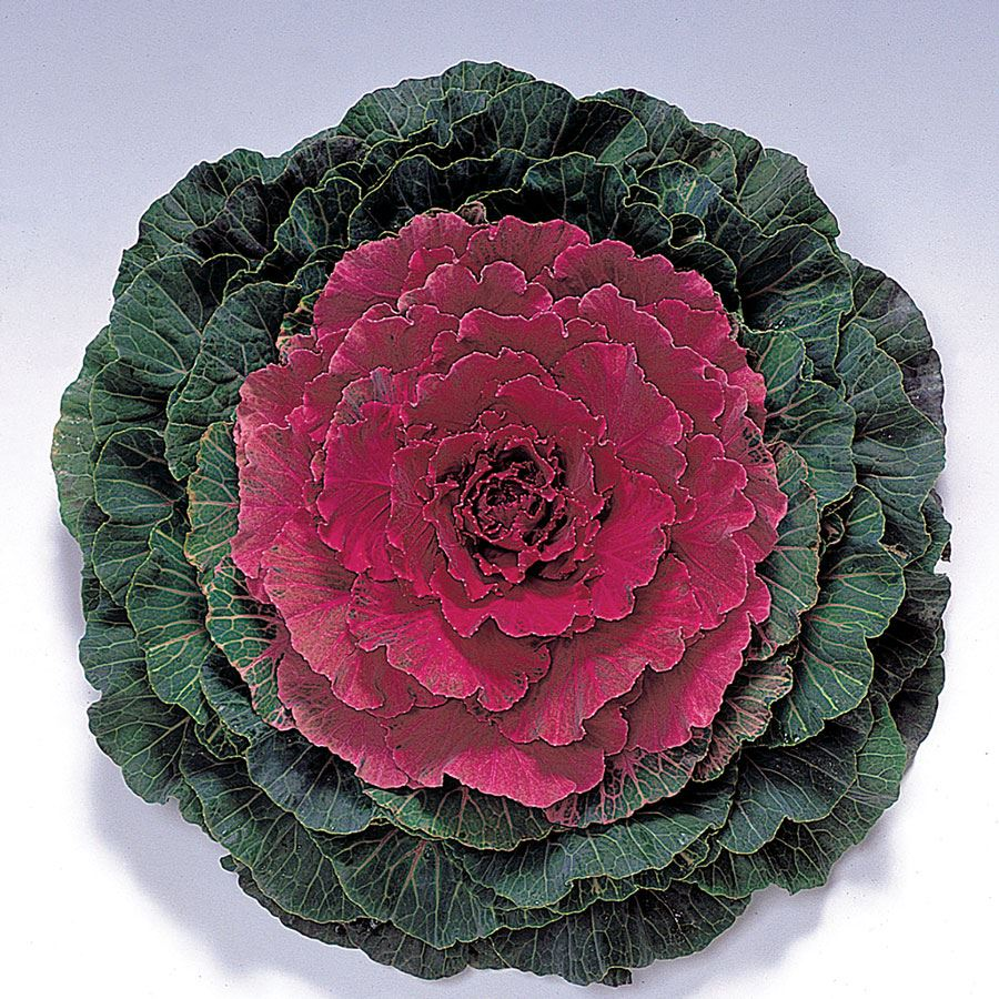 Color Up Red Hybrid Ornamental Cabbage Seeds Image