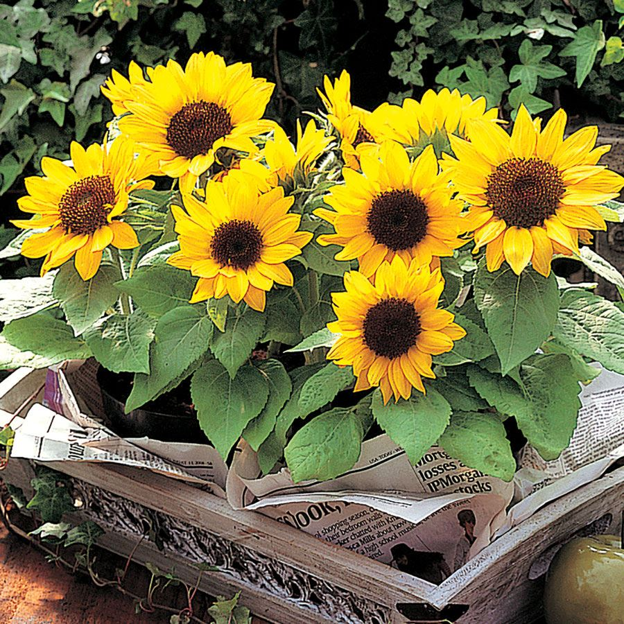 Sunny Smile Sunflower Seeds Image