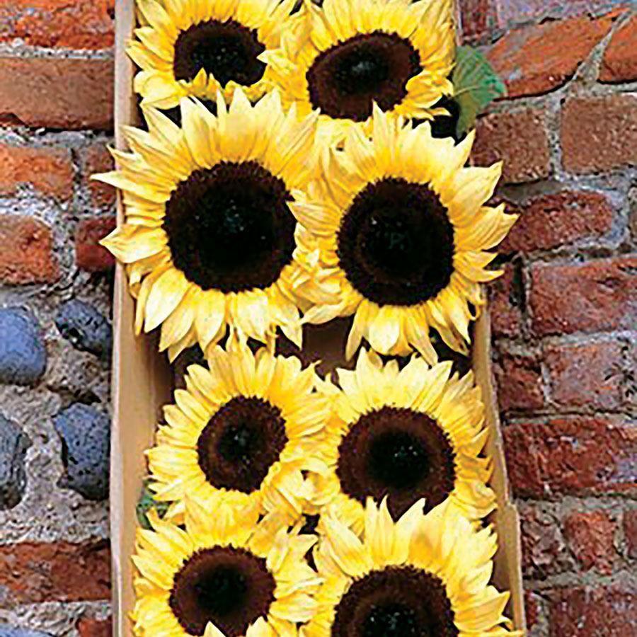 ProCut® Lemon Sunflower Seeds Image
