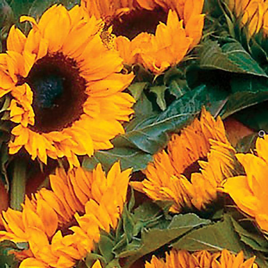 ProCut® Orange Sunflower Seeds Image