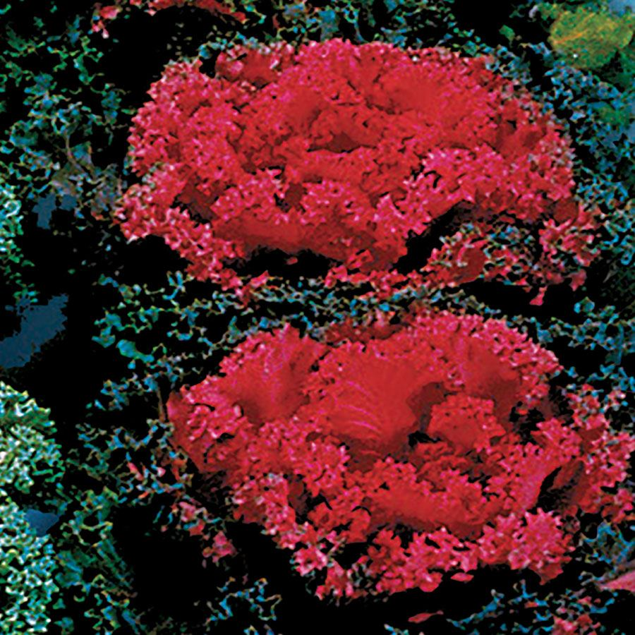 Nagoya Red Ornamental Kale Seeds Image