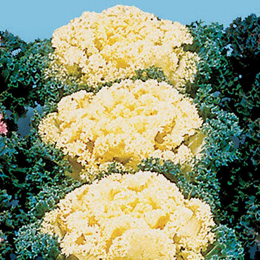 Nagoya White Ornamental Kale Seeds Image