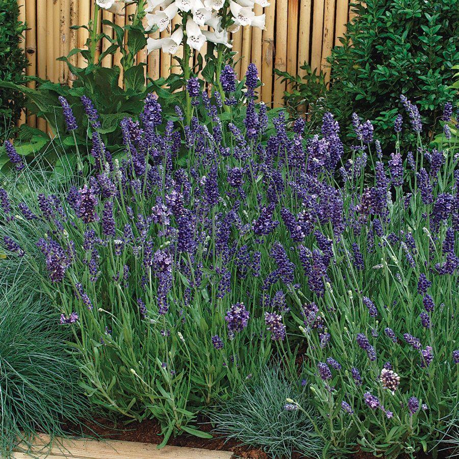 Ellagance Purple Lavender Seeds Image