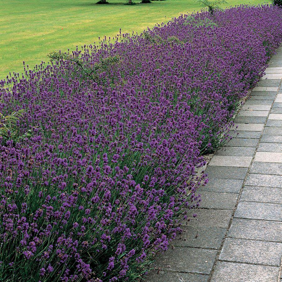 Munstead Lavender Seeds Image