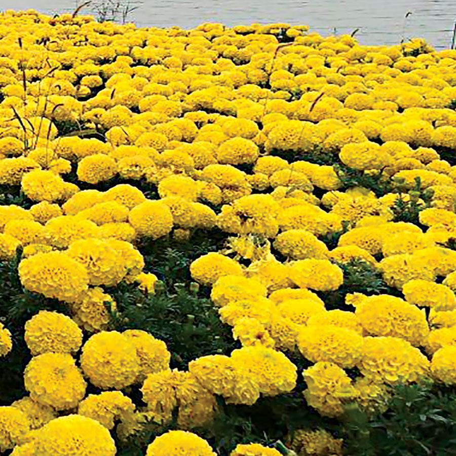 Discovery Yellow Hybrid Marigold Seeds Image