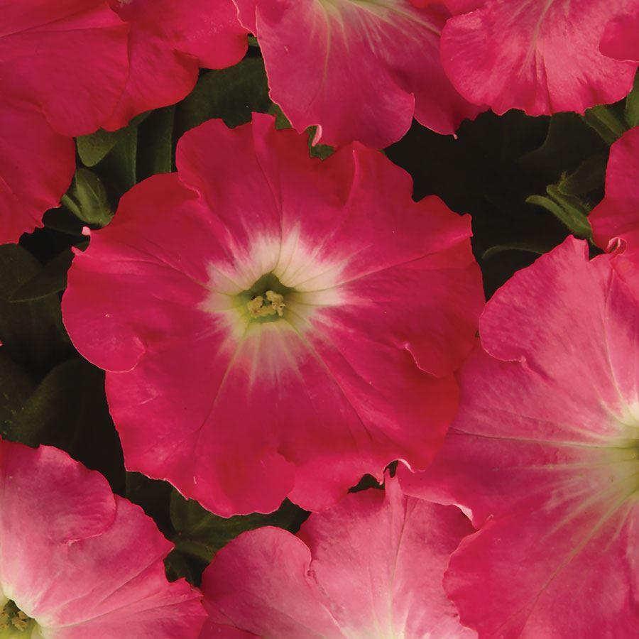 Easy Wave® Rosy Dawn Hybrid Petunia Seeds Image