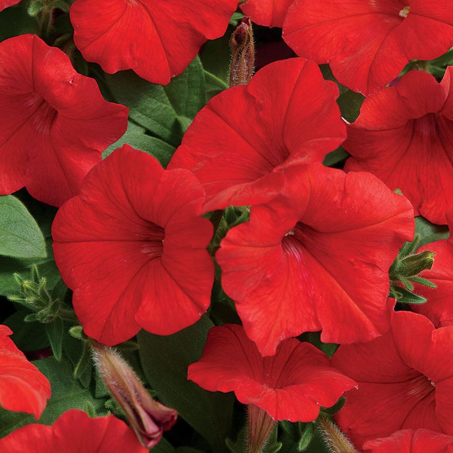 Easy Wave® Red Hybrid Petunia Seeds Image