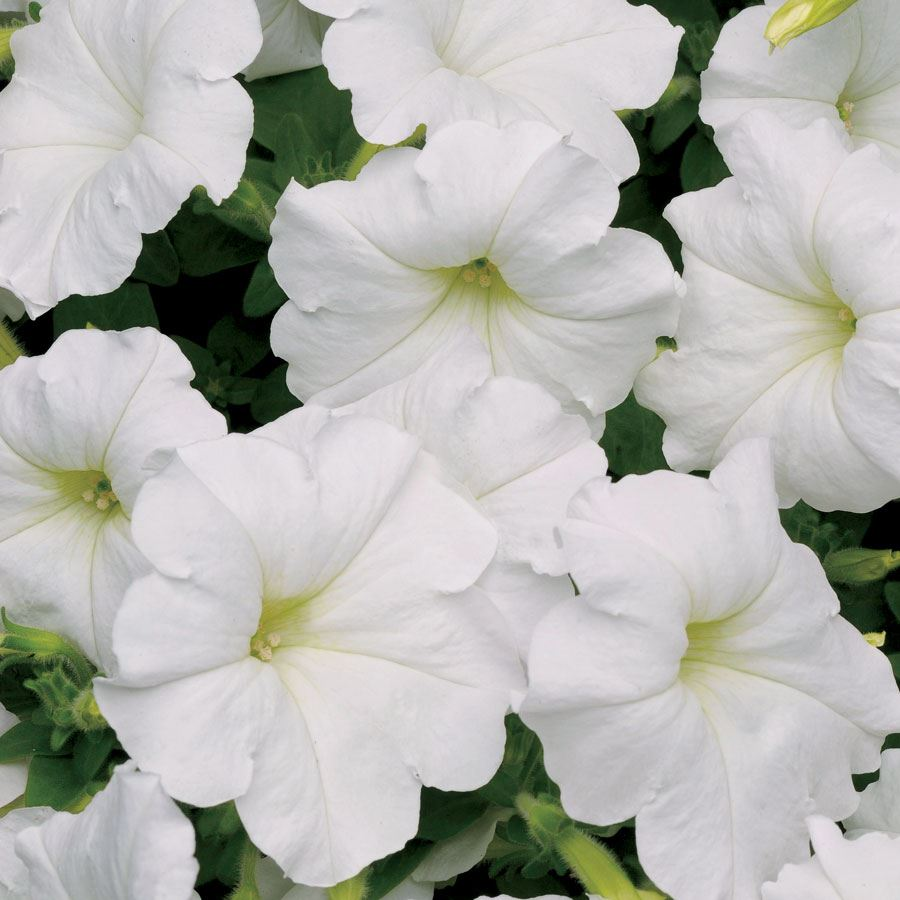Easy Wave® White Petunia Seeds Image