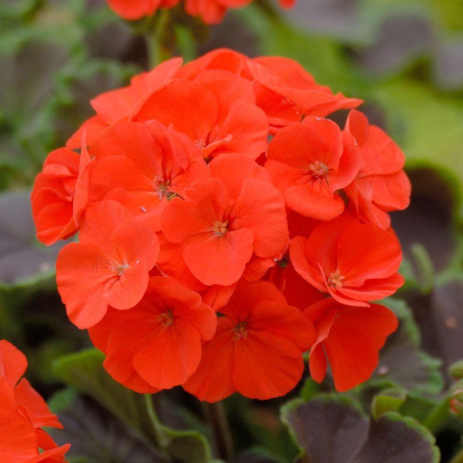 Black Velvet Scarlet Hybrid Geranium Seeds Image