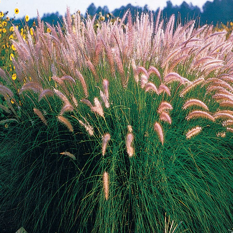 Fountain Grass Seeds Image