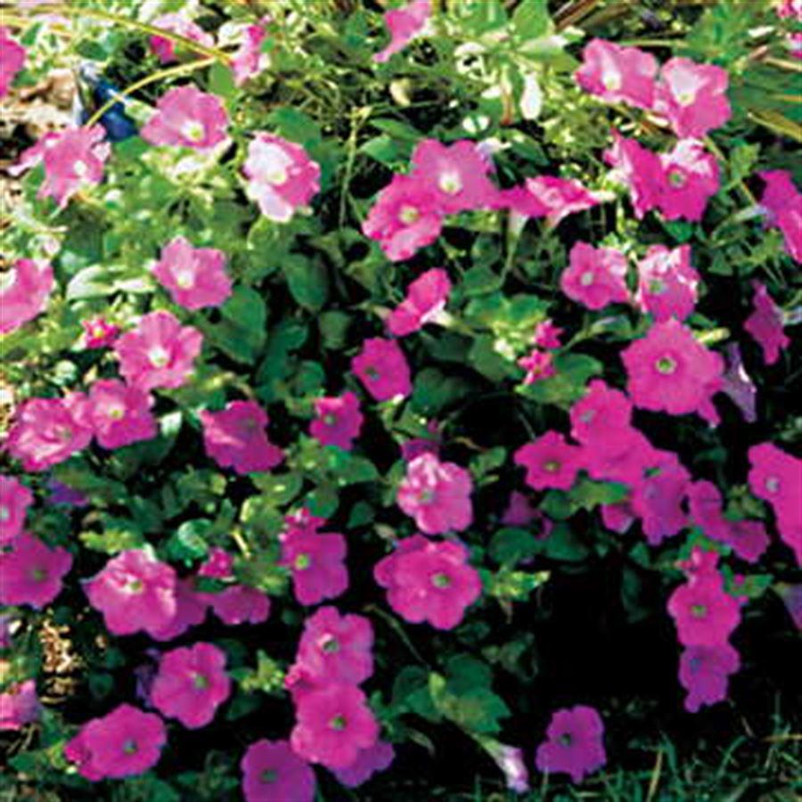 Wave® Pink Petunia Seeds Image