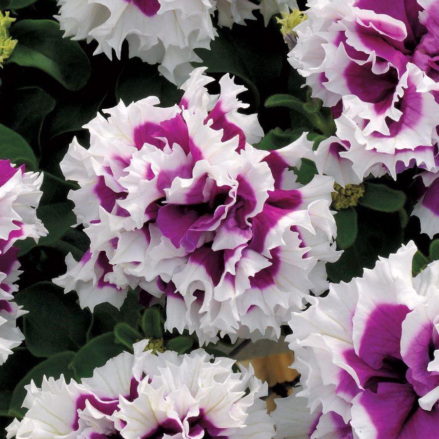 Pirouette Purple Double Petunia Seeds Image