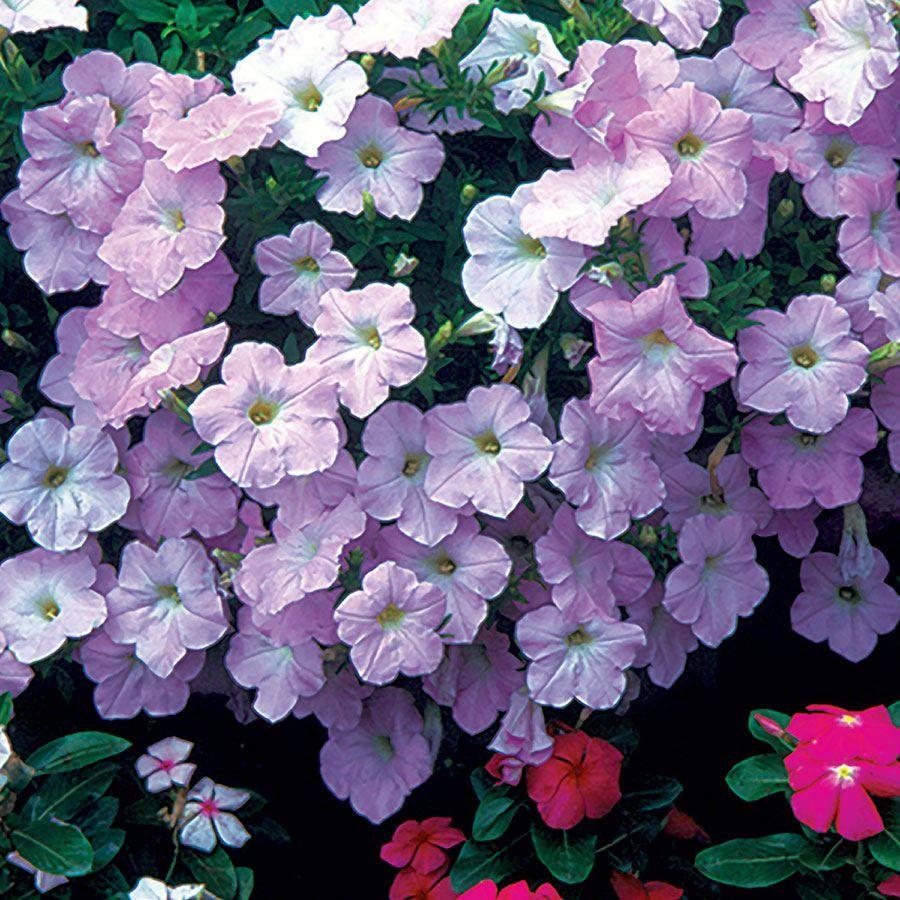 Wave® Misty Lilac Hybrid Petunia Seeds Image
