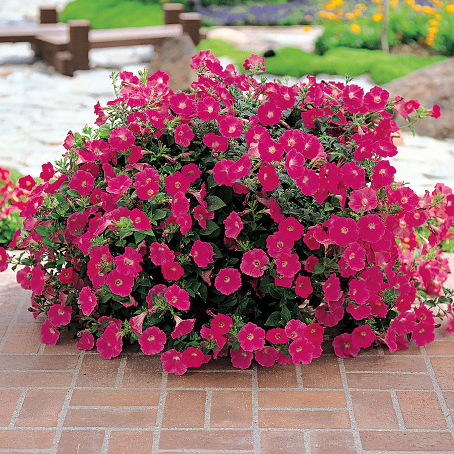 Wave® Rose Hybrid Petunia Seeds Image