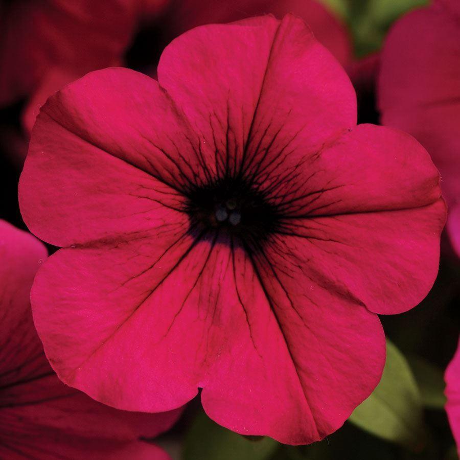 Wave® Purple Classic Hybrid Petunia Seeds Image