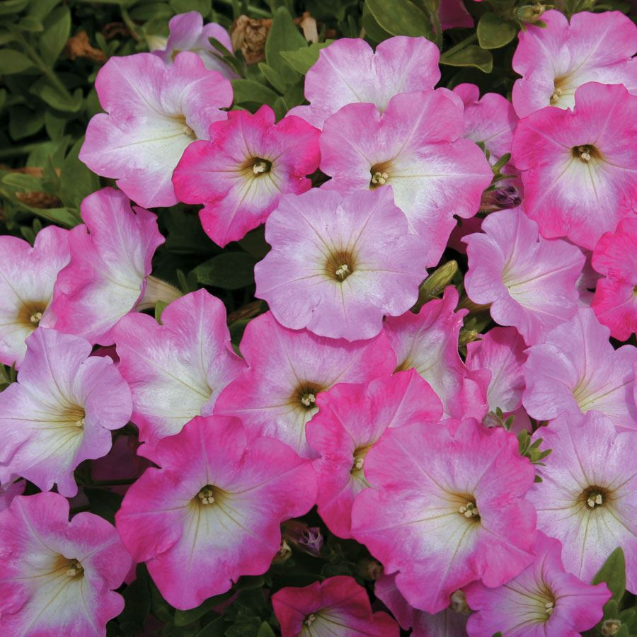 Opera Supreme Pink Morn Petunia Seeds Image