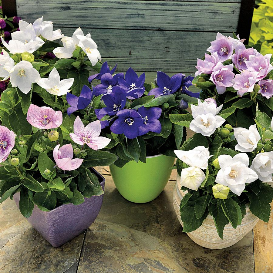 Astra Mix Balloon Flower Seeds Image