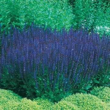 Blue Queen Salvia Seeds Image
