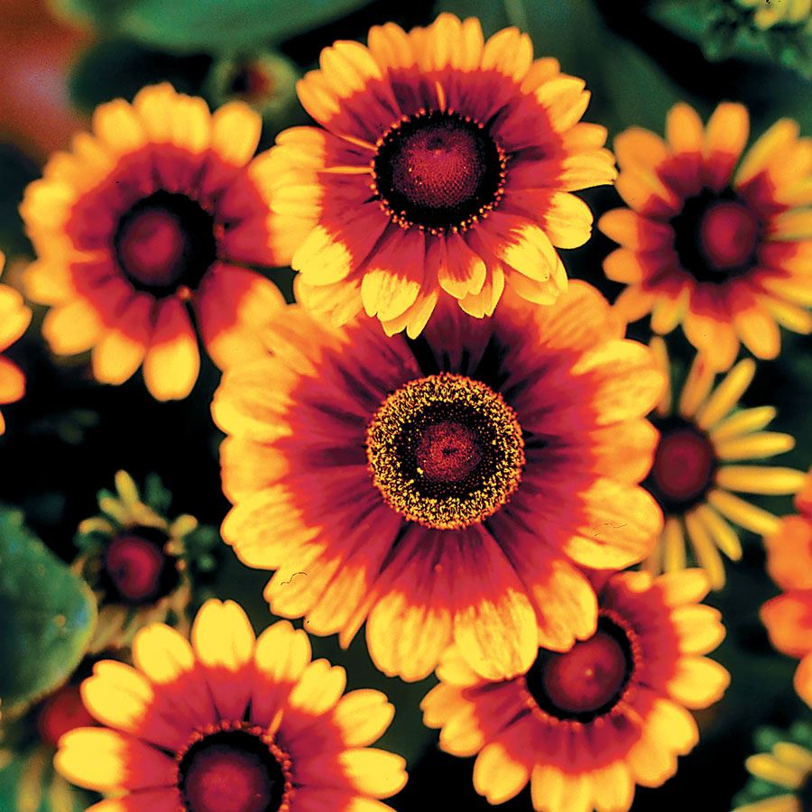 Toto® Rustic Rudbeckia Seeds Image