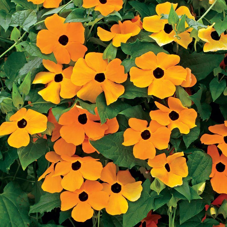 Susie™ Orange Black-Eyed Susan Vine Thunbergia Seeds Image