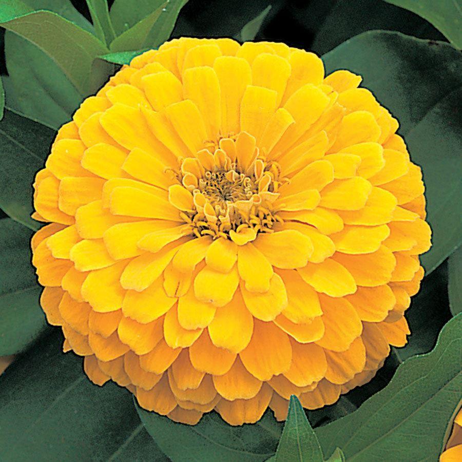 Dreamland™ Yellow Hybrid Zinnia Seeds Image