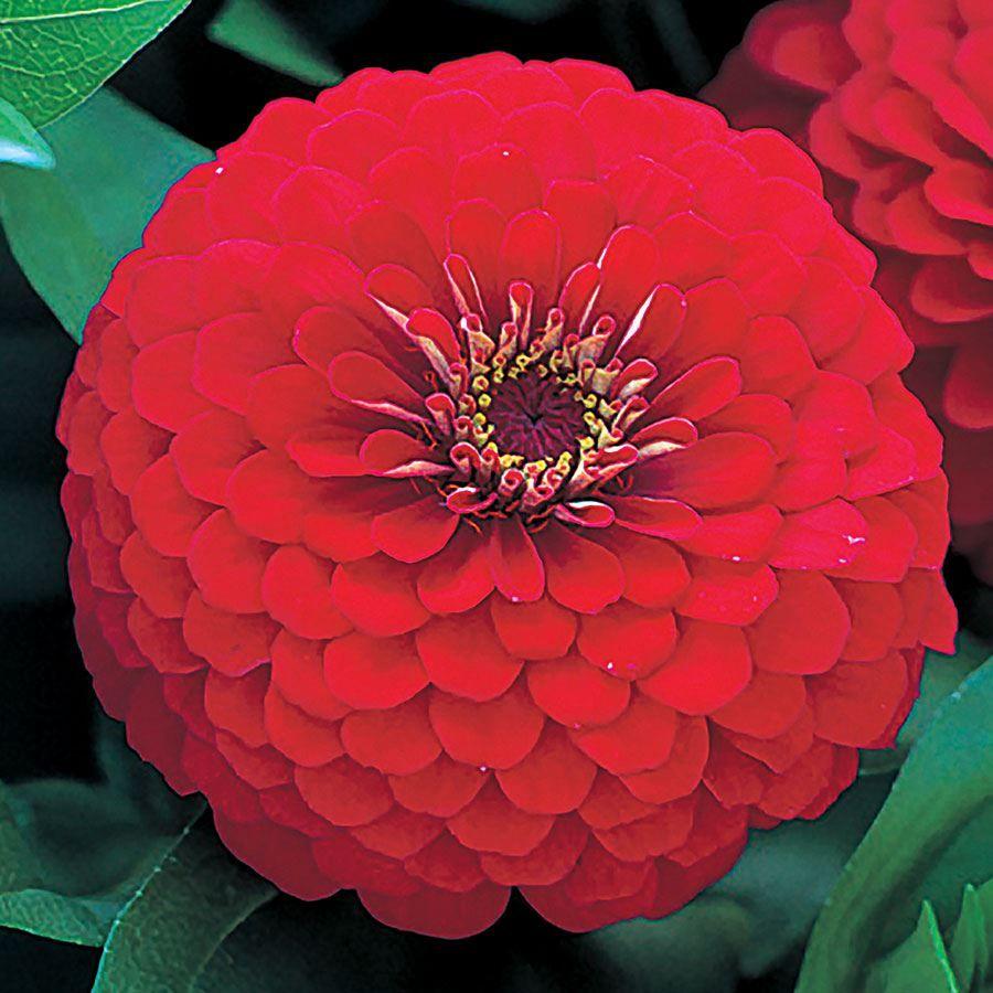 Dreamland™ Red Hybrid Zinnia Seeds Image
