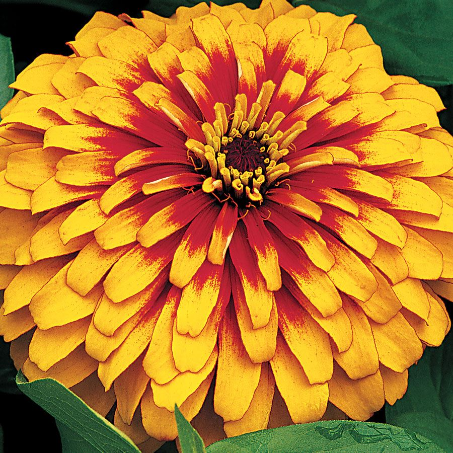 Swizzle™ Scarlet and Yellow Zinnia Seeds Image
