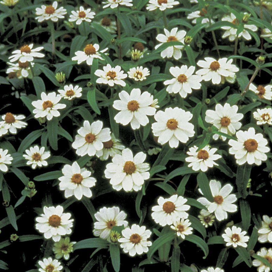 Crystal™ White Zinnia Seeds Image