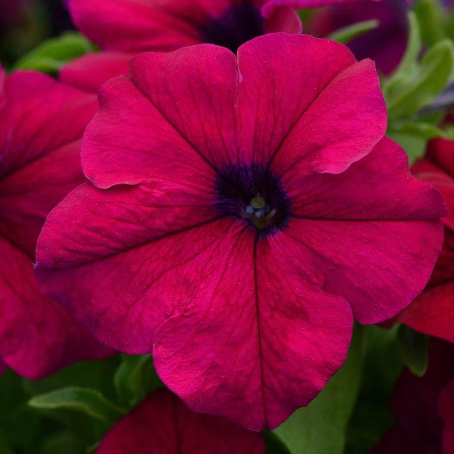 Dreams™ Pink Petunia Seeds Image